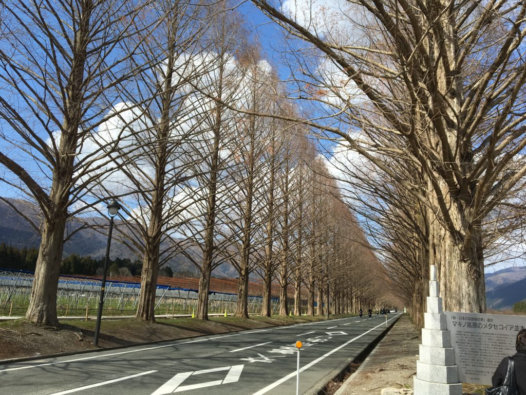 メタセコイヤ並木の風景画像